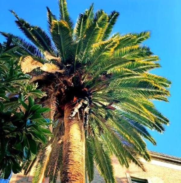 Poda limpieza de palmera mediante sistema de trepa
