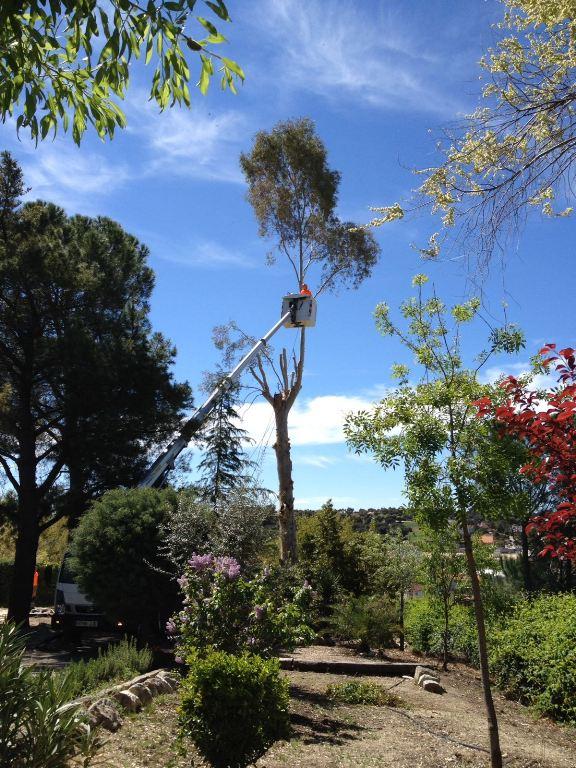 Tala Eucaliptus globulus de gran porte con plataforma elevadora
