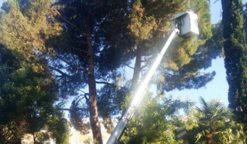 Tala de Pinus pinea de gran porte con plataforma elevadora