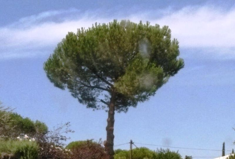 Poda Pinus pinea con técnica de trepa en Villanueva de la Cañada.