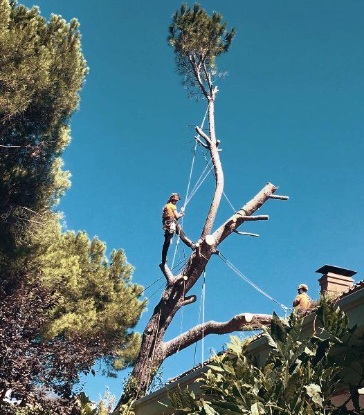 Tala Pinus pinea apoyado sobre tejado en Aravaca