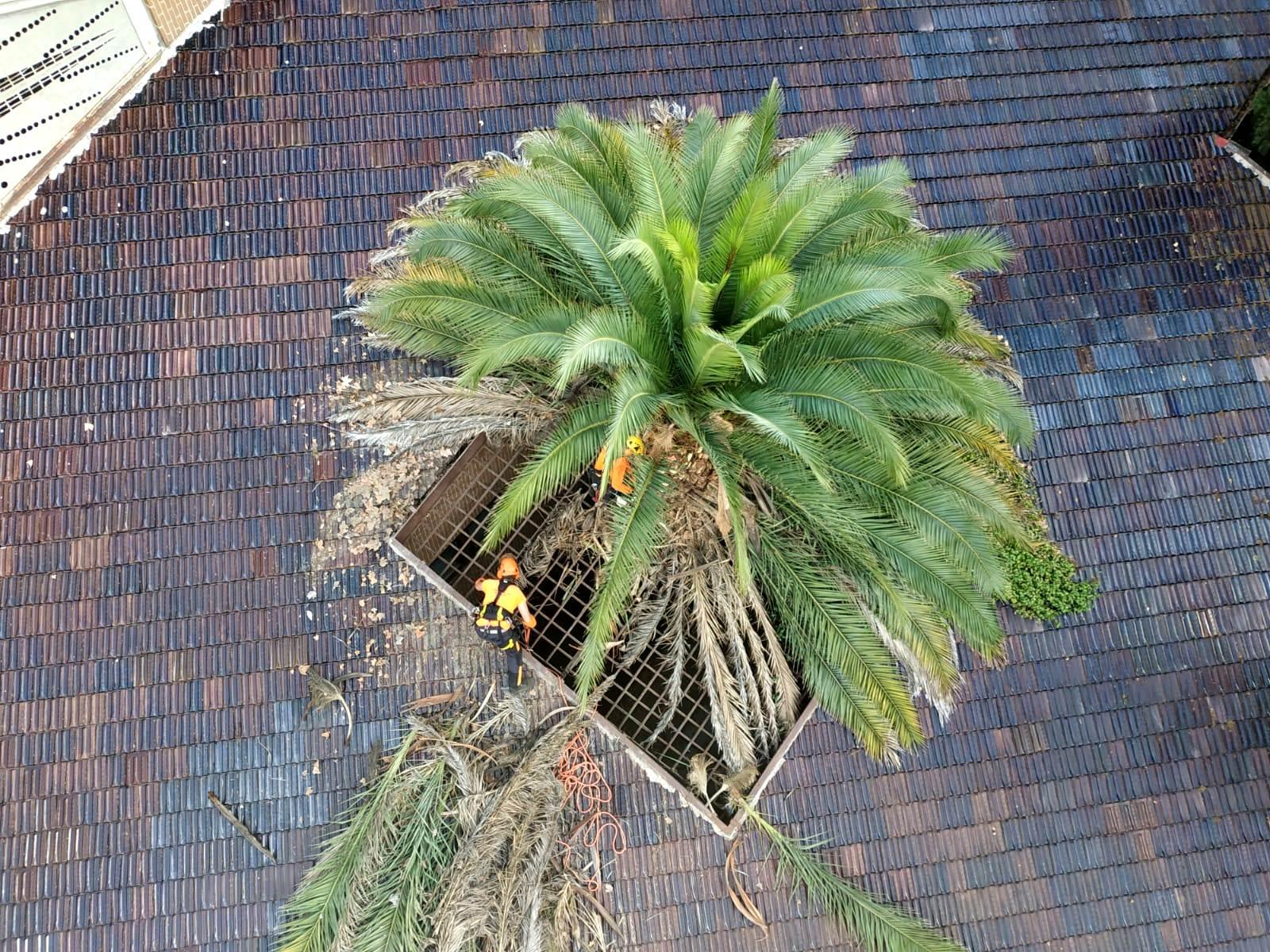 Tala Phoenix canariensis en patio interior