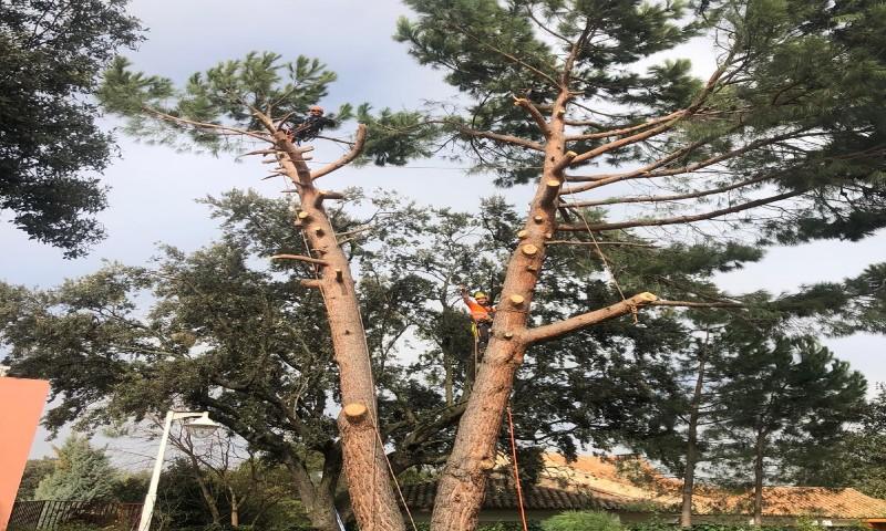 Tala Pinus pinea a trepa con apeo de ramas